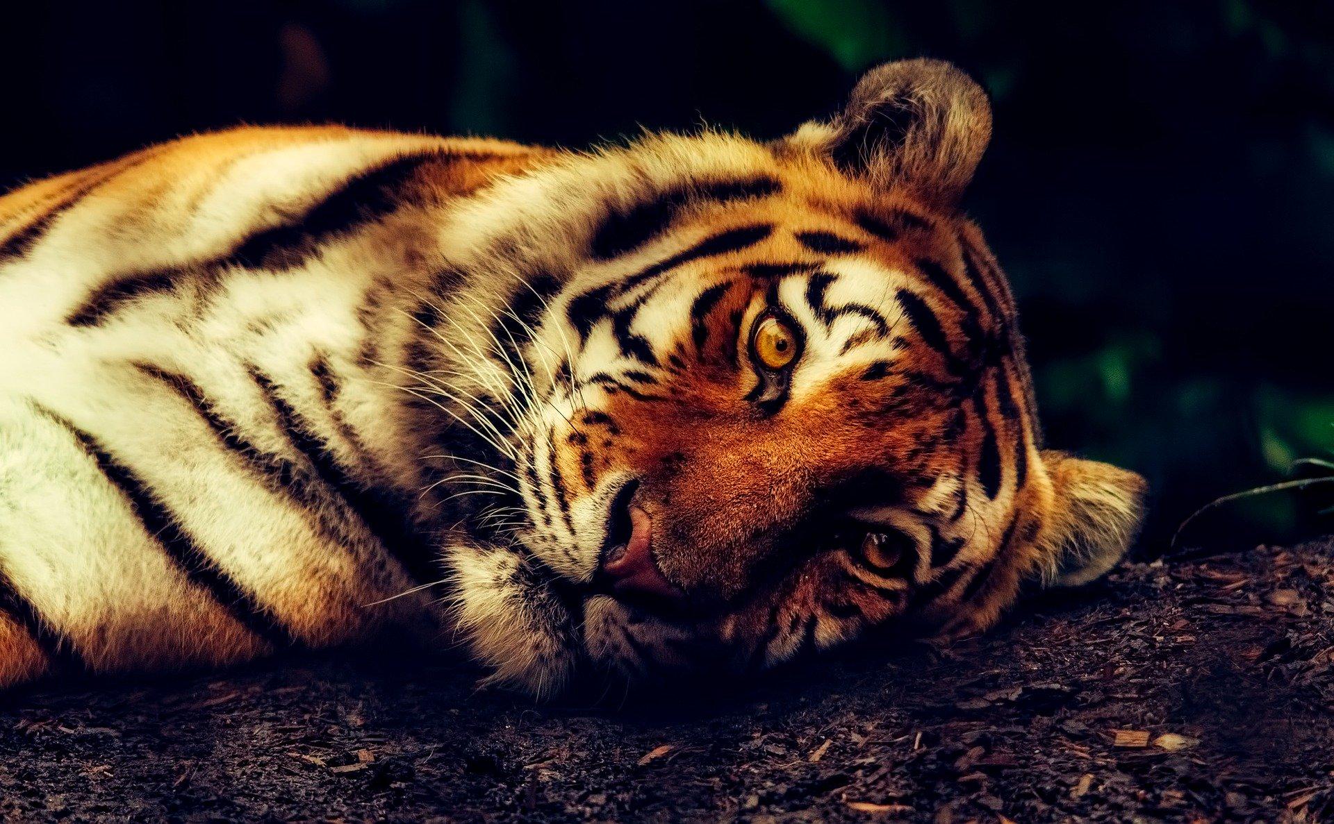 cómo es el tigre