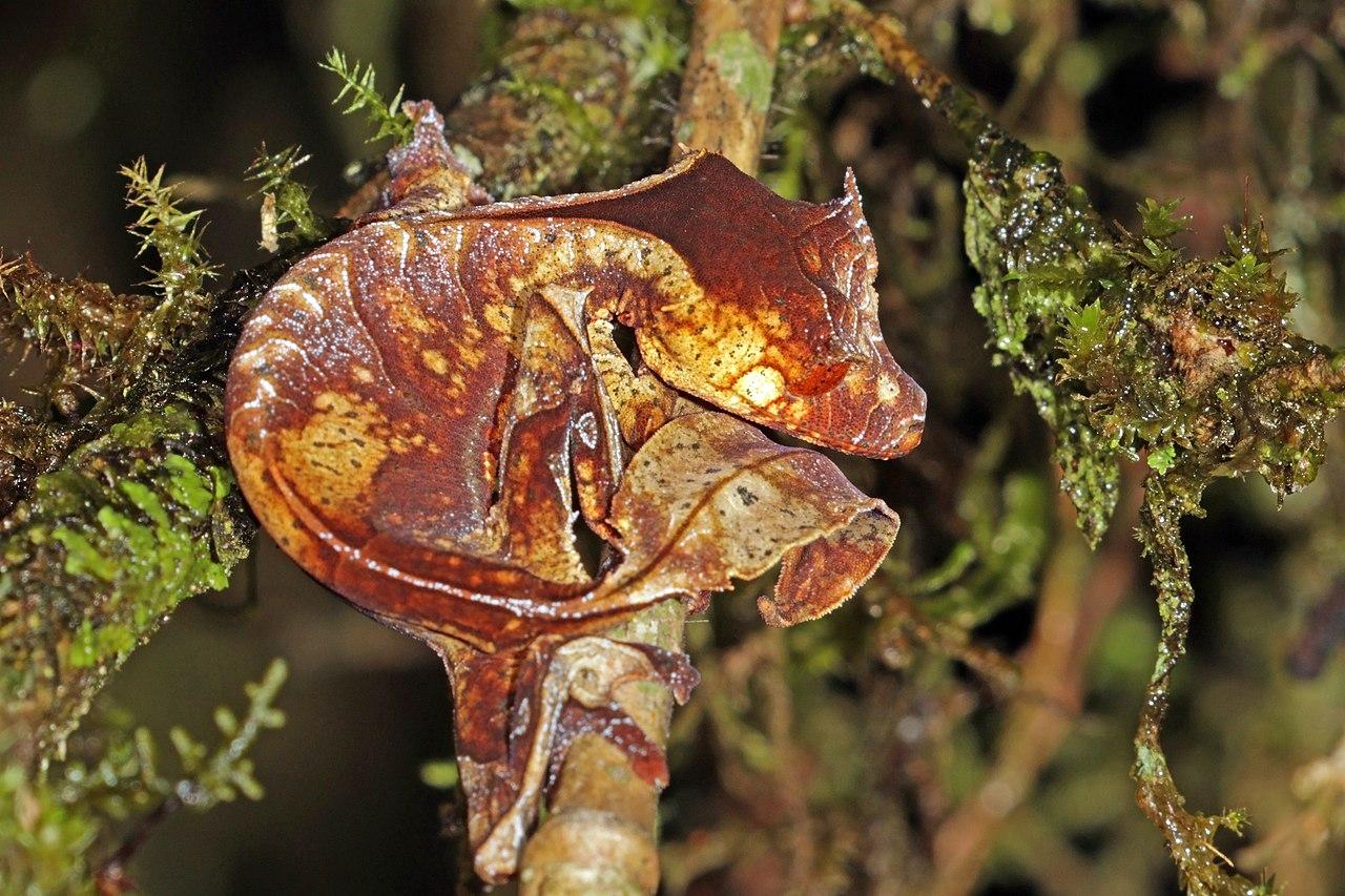cómo es el gecko cola de hoja