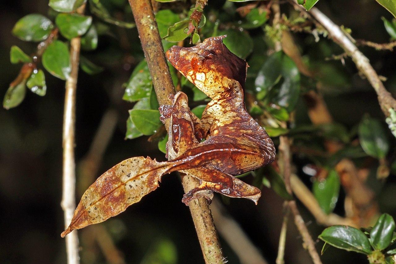 Hábitat del gecko cola de hoja
