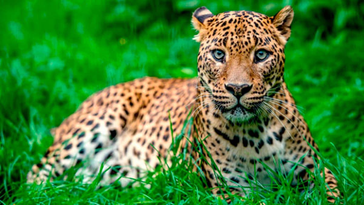 Características del leopardo africano