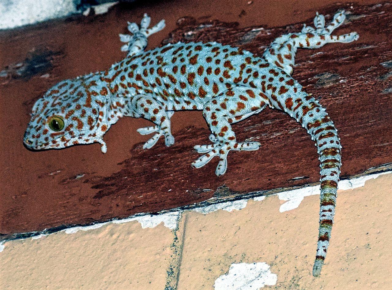 cómo es el Gecko tokay