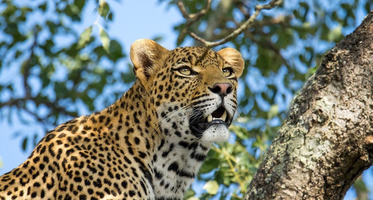 Leopardo africano cazando