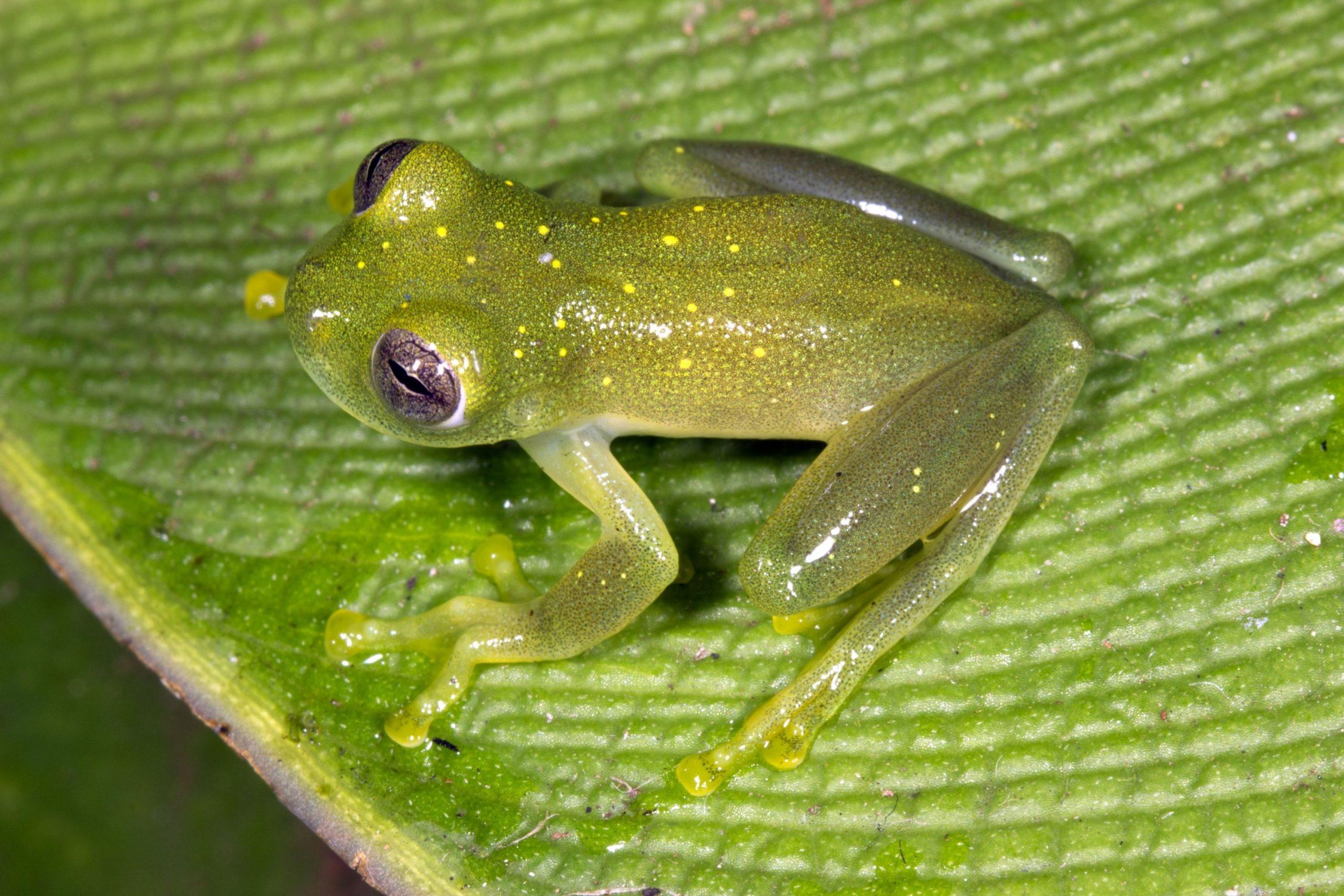 Reproducción de la rana de cristal