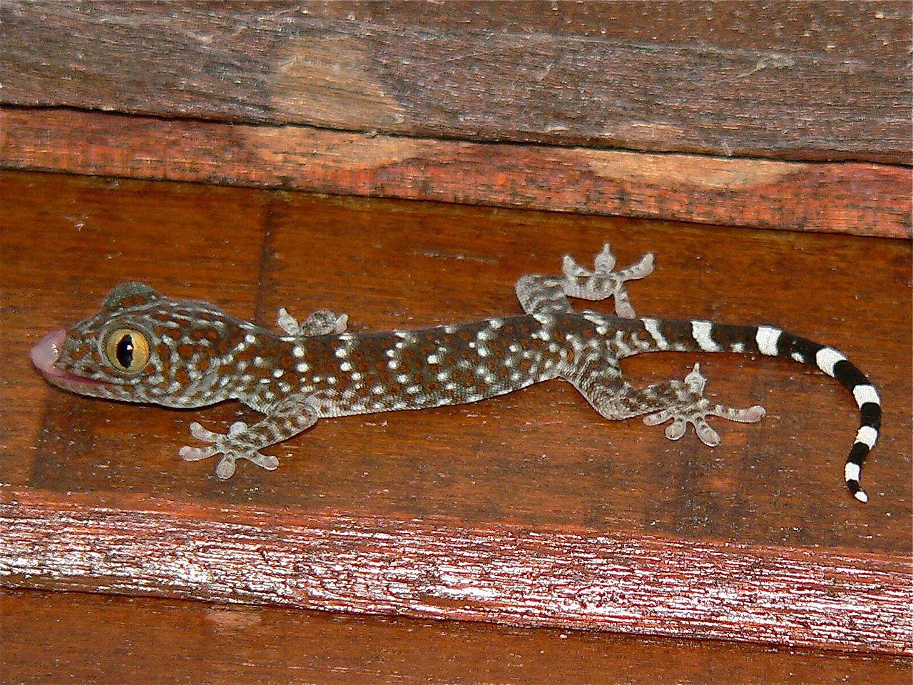 La alimentación del gecko tokay