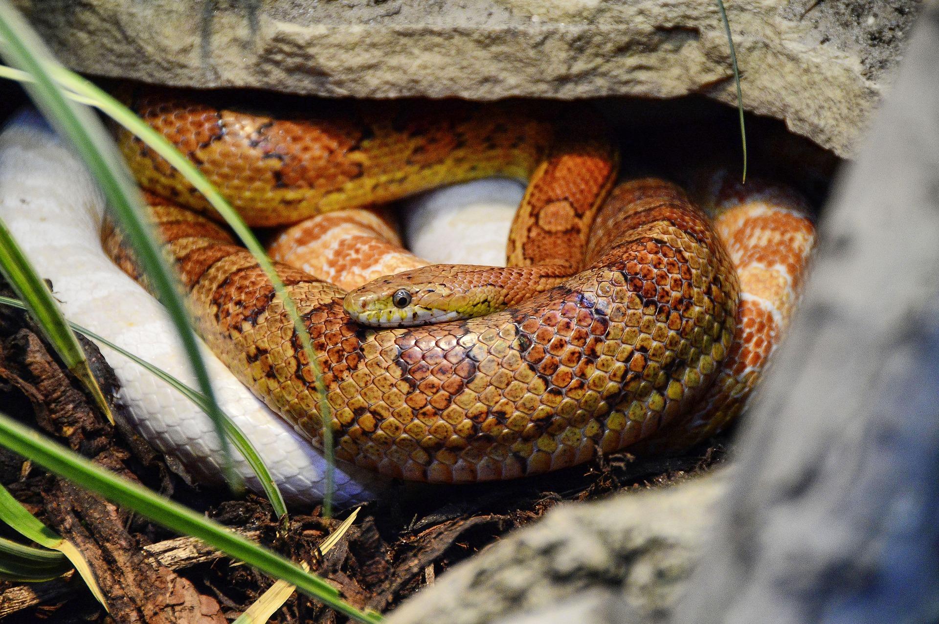 Cómo comprar una serpiente del maíz