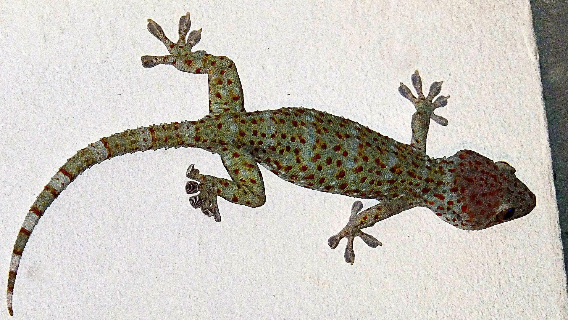 La reproducción del gecko tokay