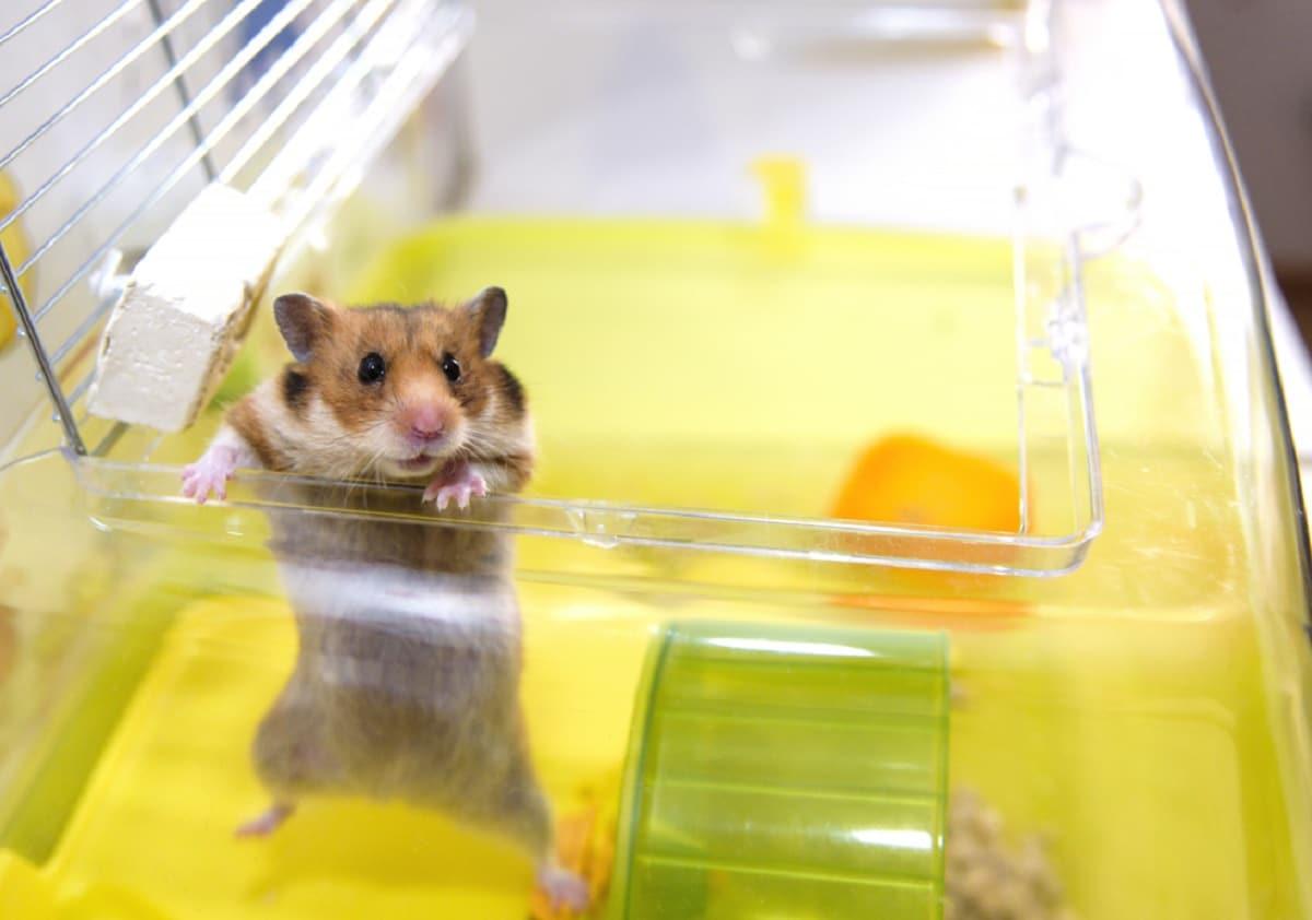 hamster como mascota