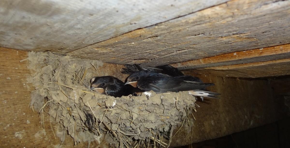 Las golondrinas suelen construir sus nidos en lo alto de edificaciones humanas