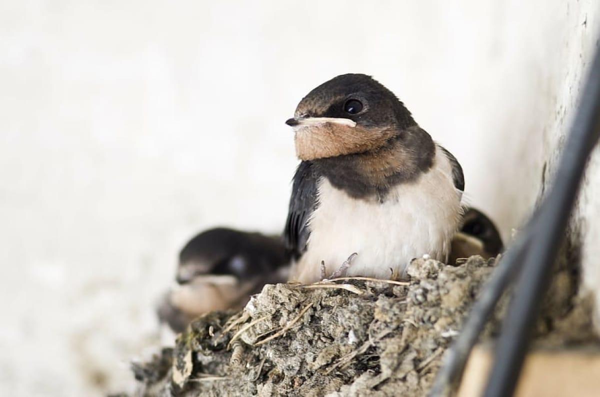 Las andorinas construyen sus nidos en pareja aunque la más participativa suele ser la hembra