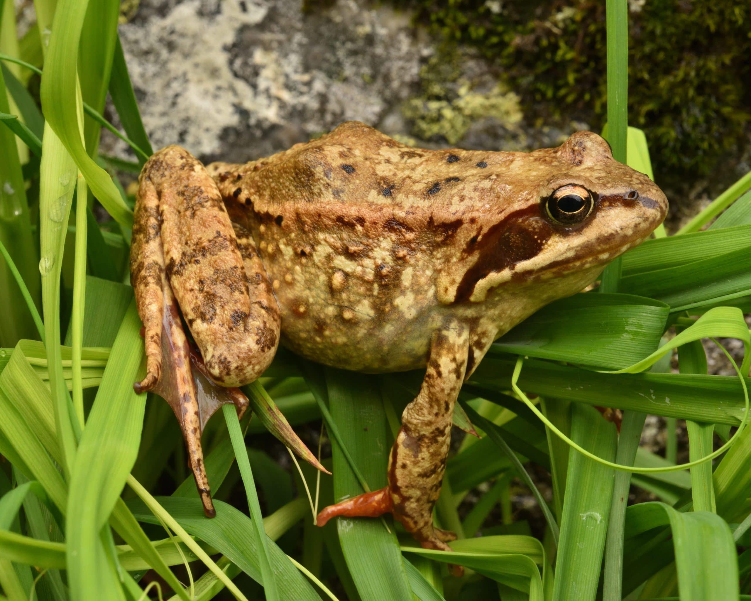 características de la rana pirenaica