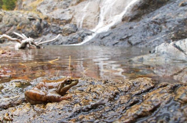 Dónde vive la rana pirenaica