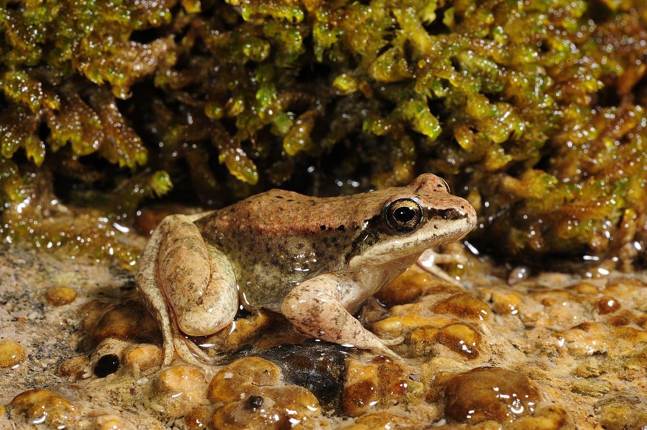 La diferencia entre la rana pirenaica macho y hembra