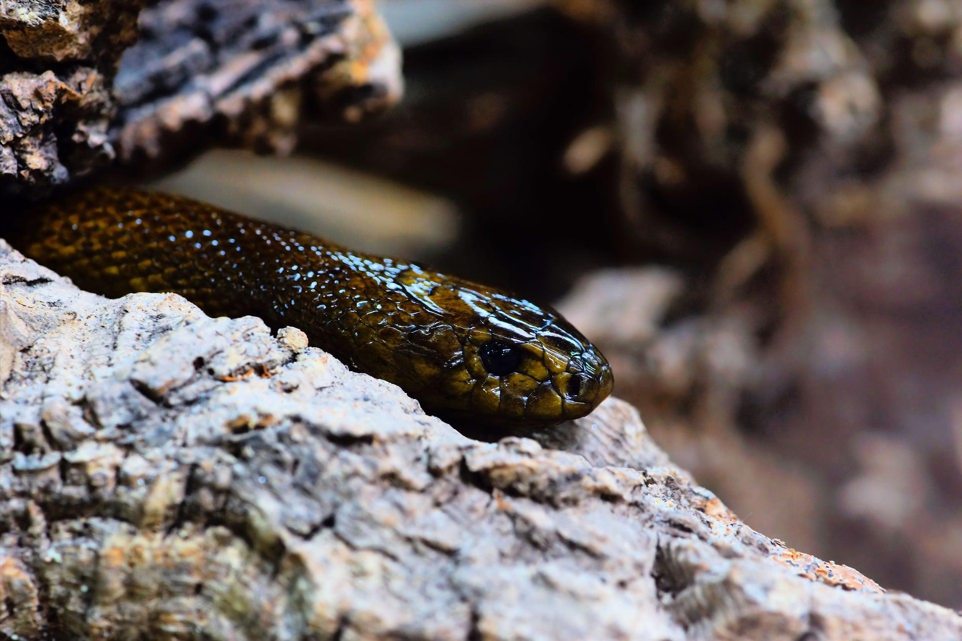 La reproducción de la serpiente taipan