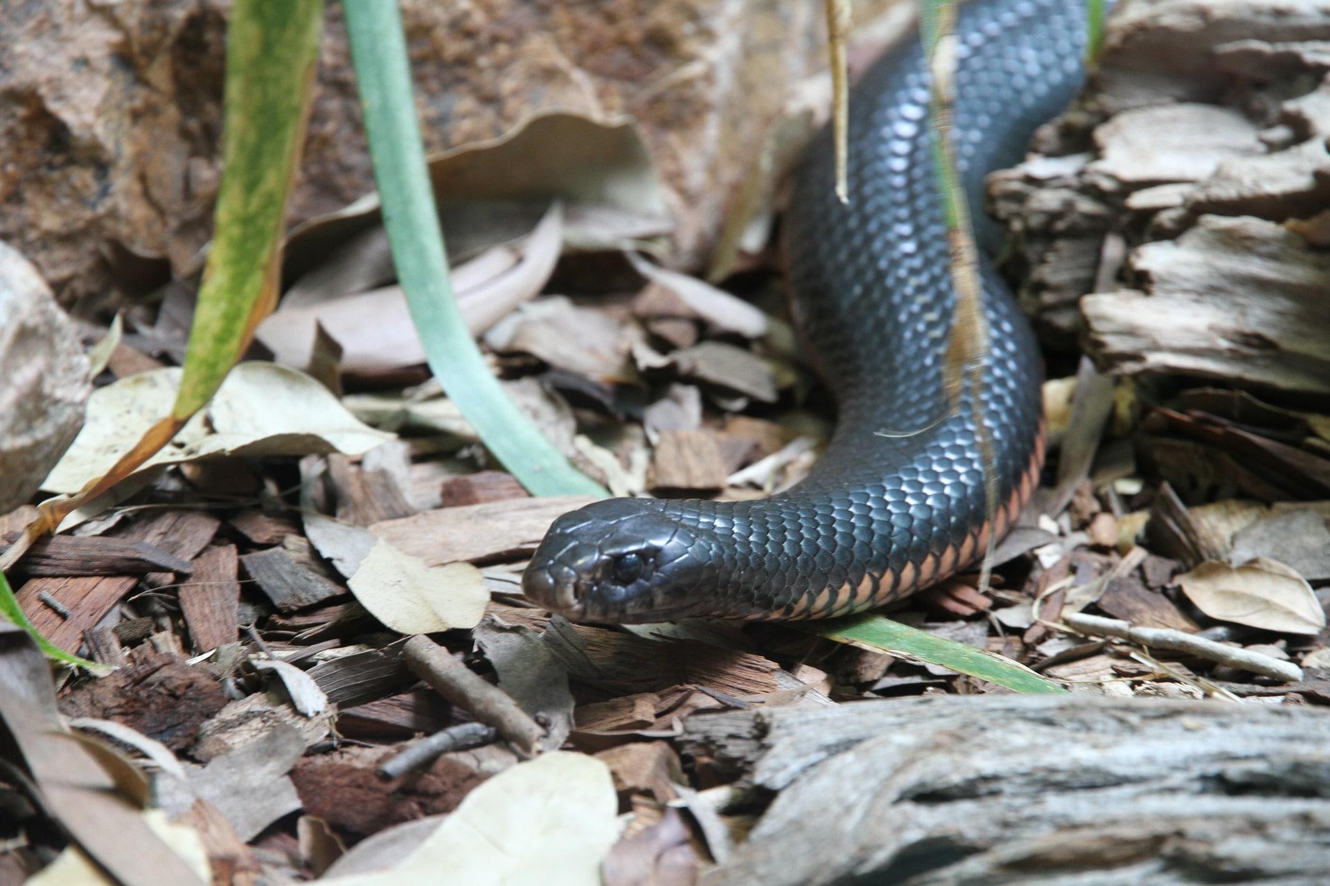 La alimentación de la serpiente taipan