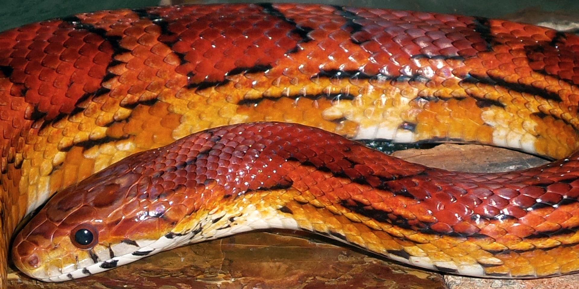 Cuidados de la serpiente de maíz