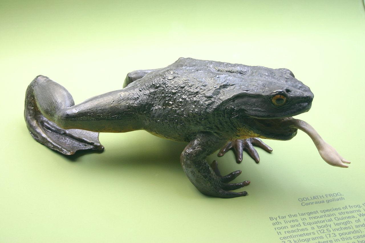 características de la rana goliat