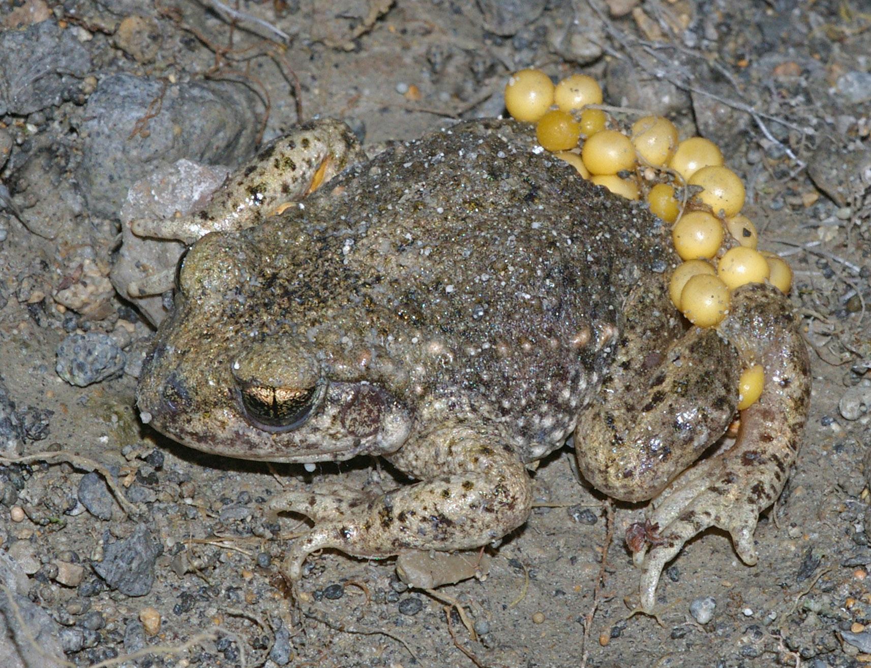 Reproducción de la rana goliat