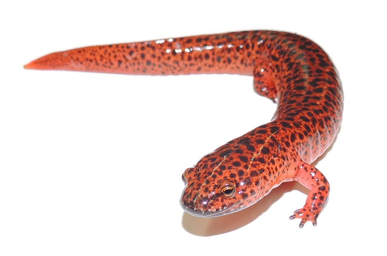 cómo es la salamandra roja