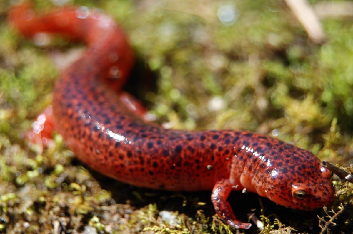 Tipos de salamandra roja