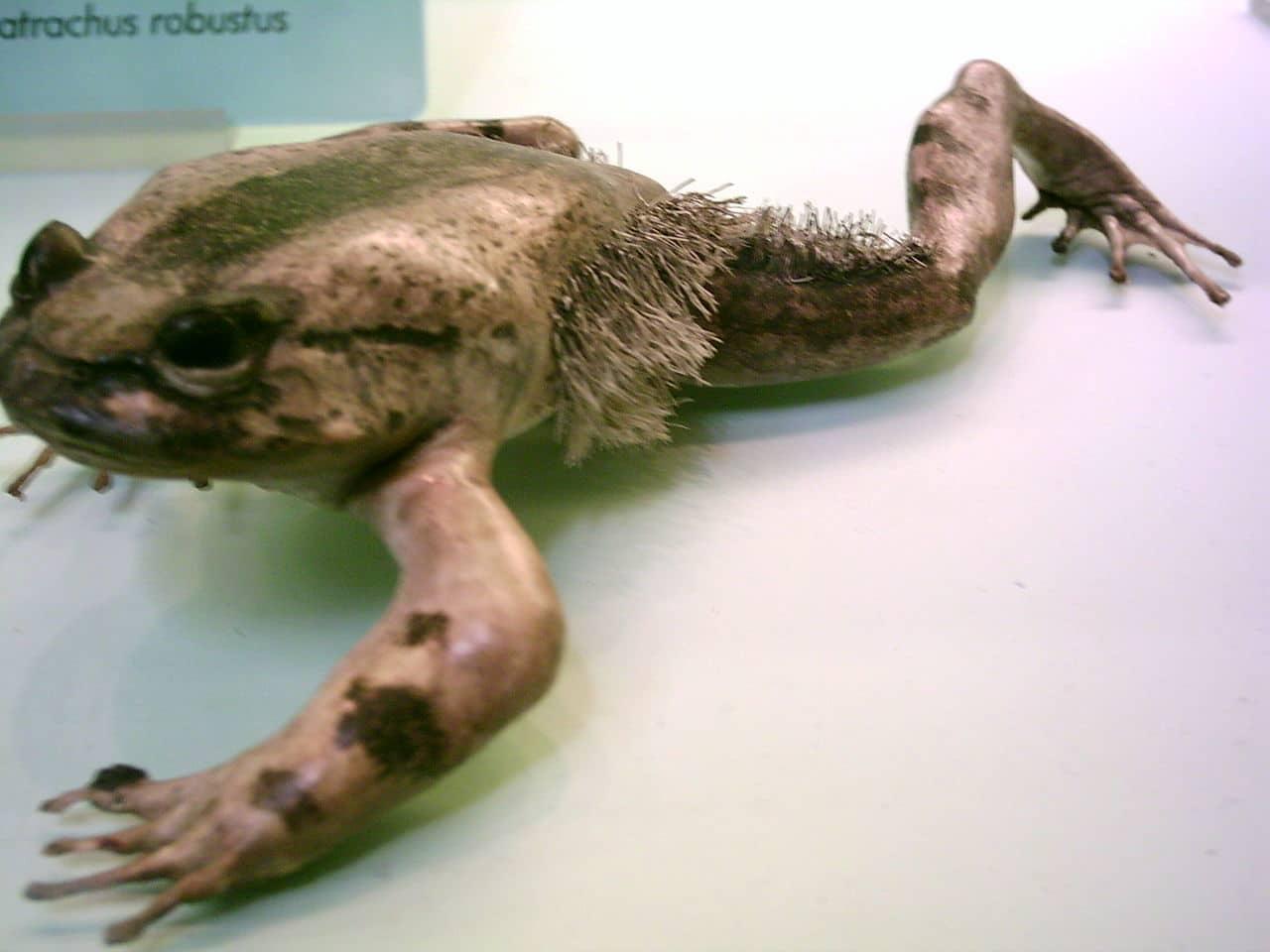 Características de la rana con pelo