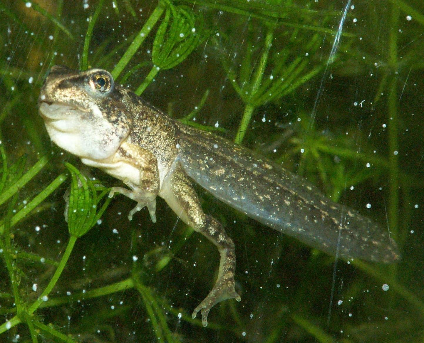La reproducción de la rana peluda