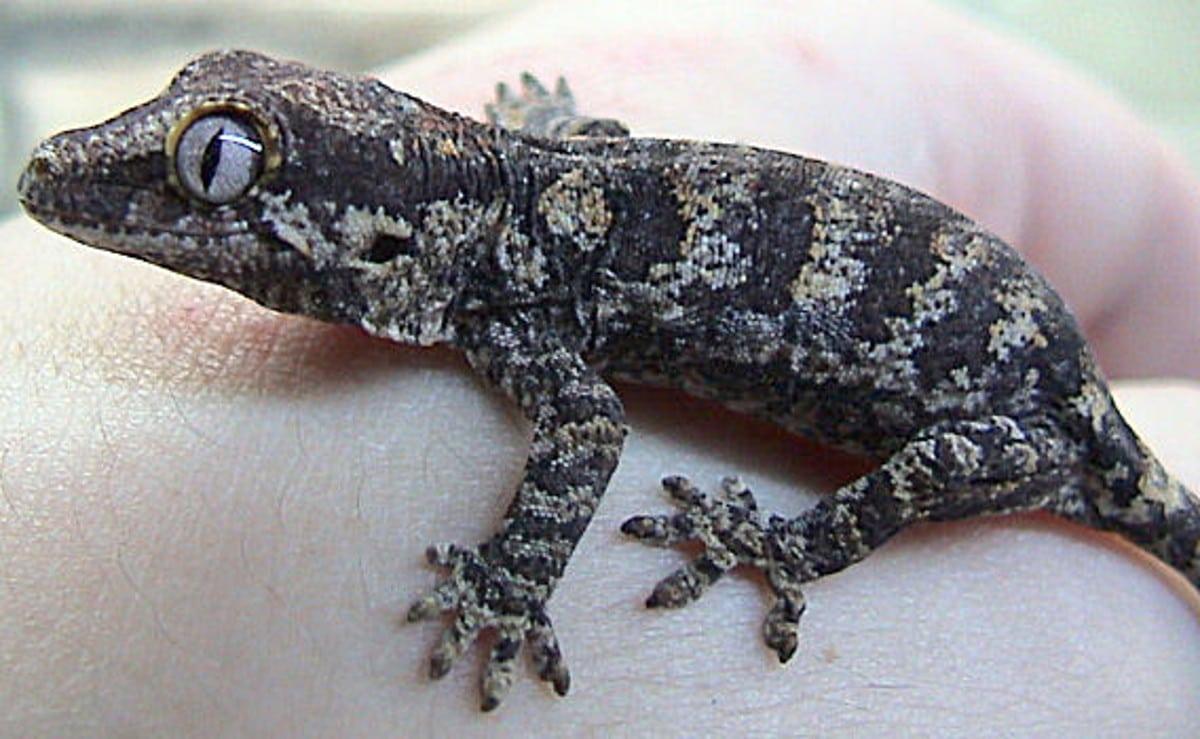 cómo es el gecko gárgola