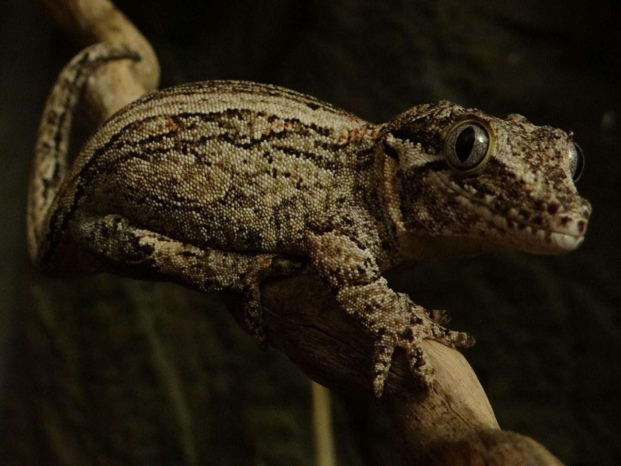 Qué come el gecko gárgola