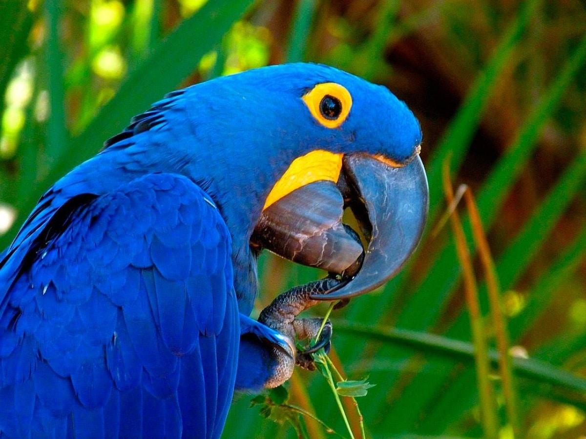 amenazas del guacamayo azul