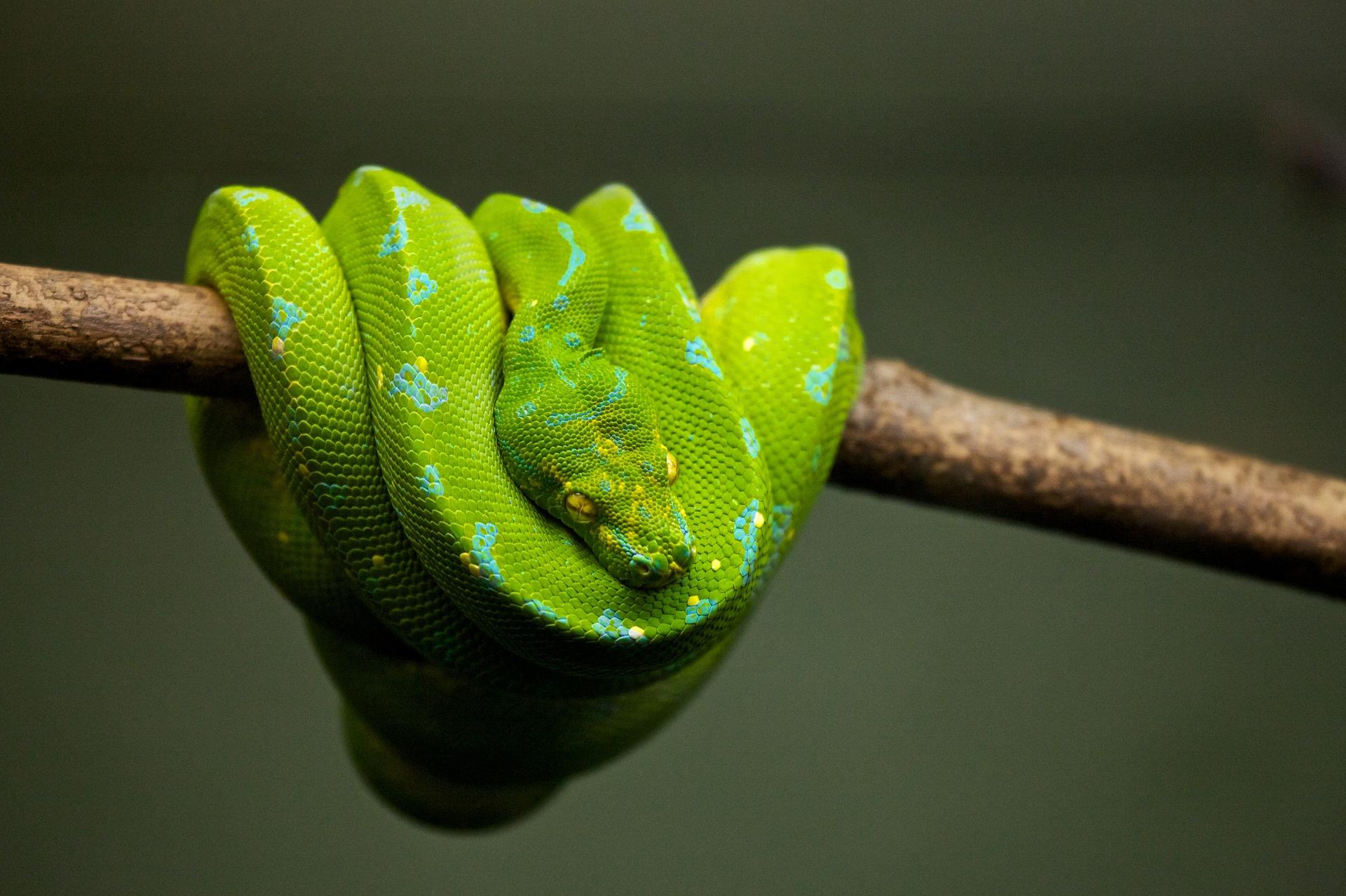 La alimentación de la serpiente pitón