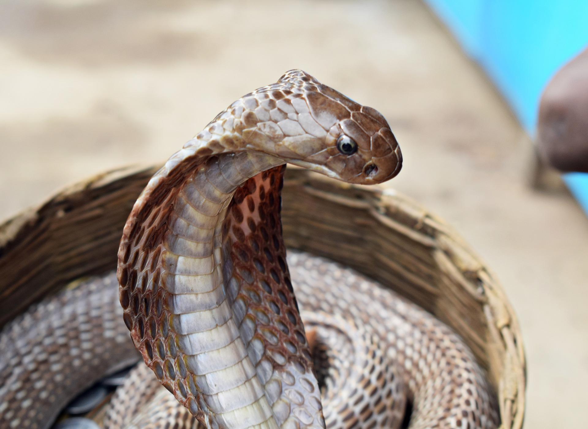 Reproducción de la serpiente cobra