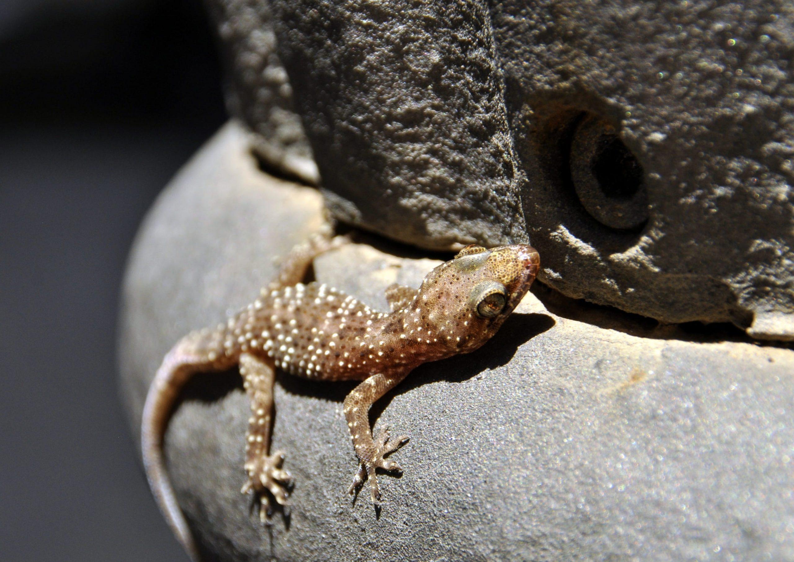 Las crías de gecko gárgola