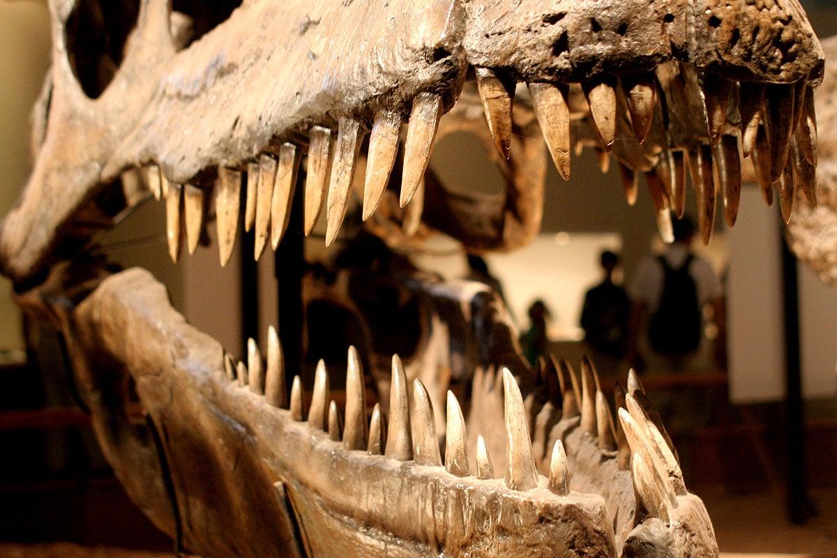 Los dientes achatados y largos del Giganotosaurus lo ayudaban a desgarrar a sus presas