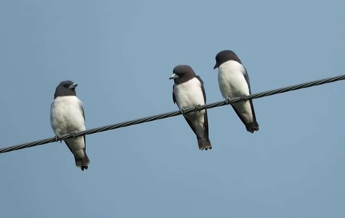 Las golondrinas cuando salen del nido aun no saben cazar por si solas y siguen esperando que los padres les traigan la comida