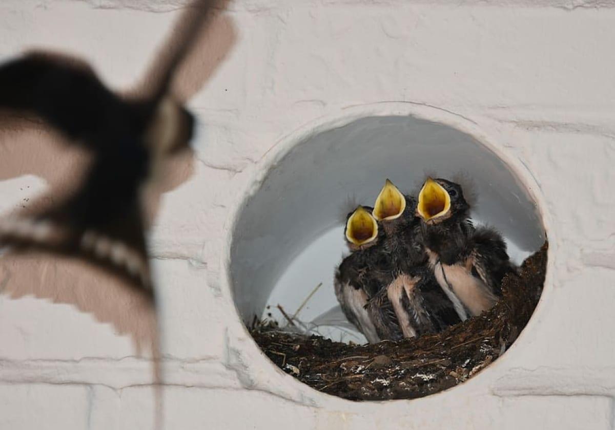 las golodrinas se alimentan de insectos voladores