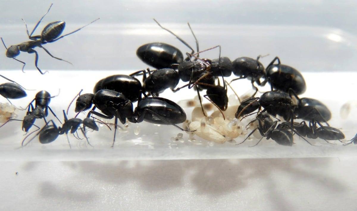 hormiga reina con obreras