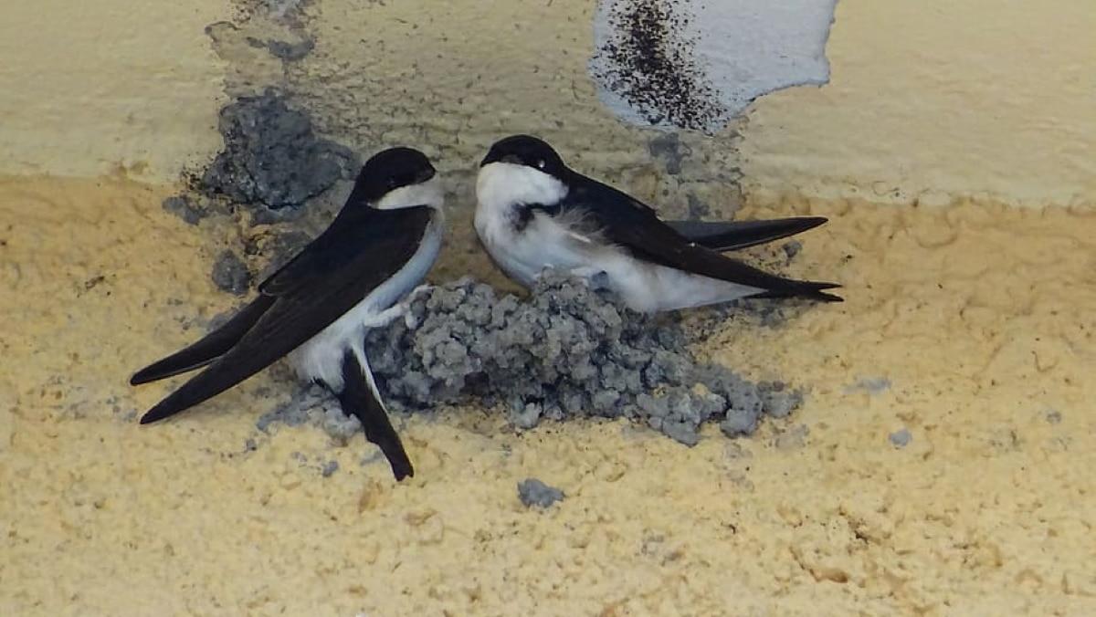 Un nido de golondrins en caso es un signo de buena suerte y fortuna