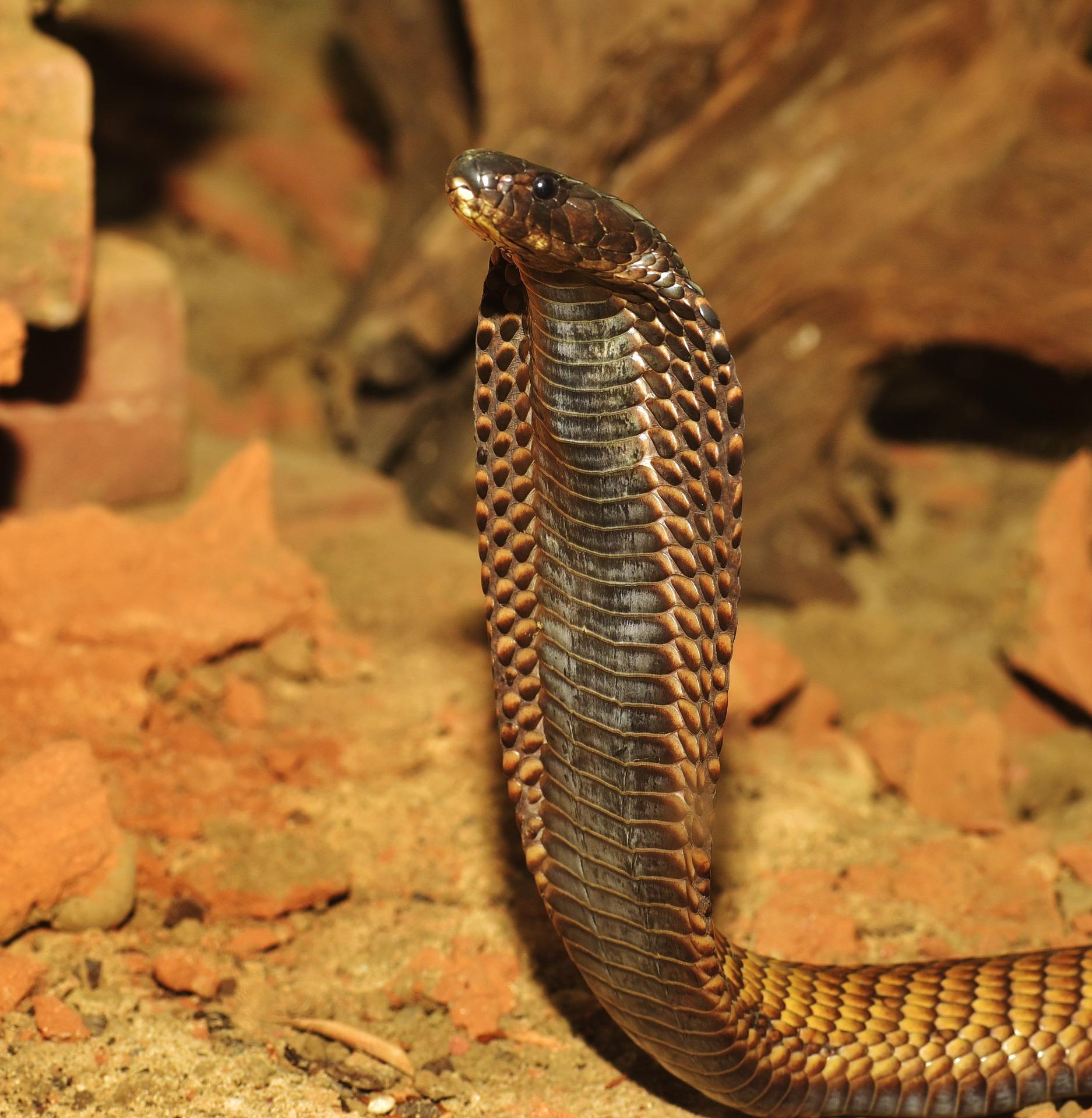 Curiosidades de la cobra