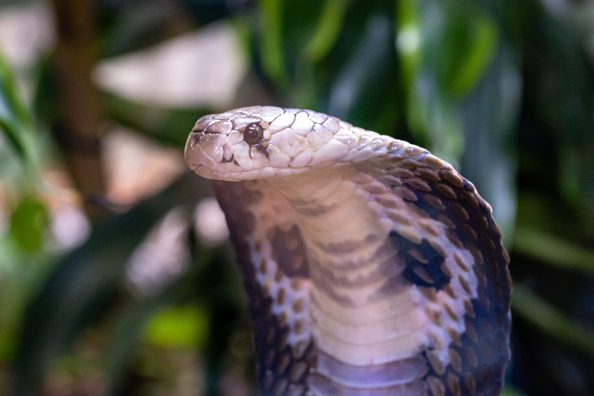 cómo es la serpiente cobra