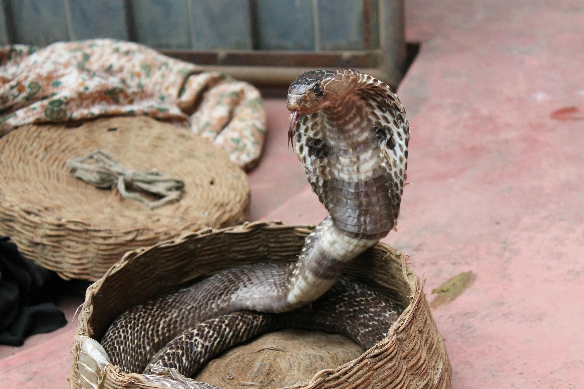 La alimentación de la serpiente cobra