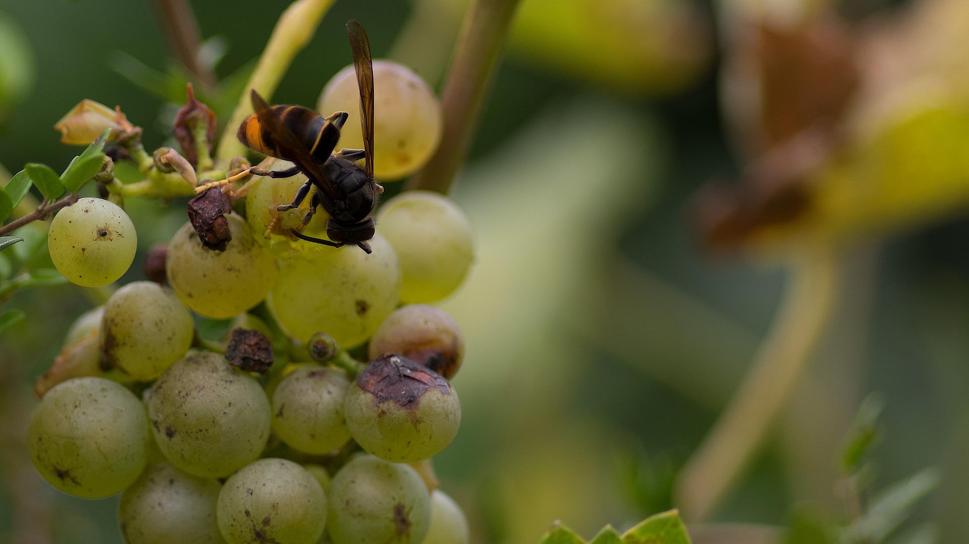 Las diferencias entre la avispa asiática y la avispa común