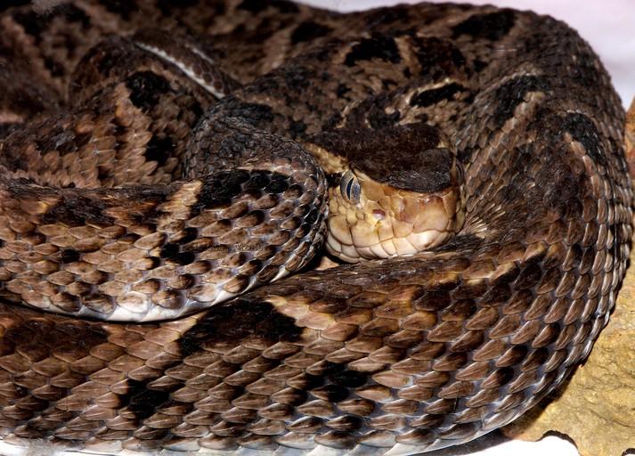 Cómo se reproduce la serpiente terciopelo