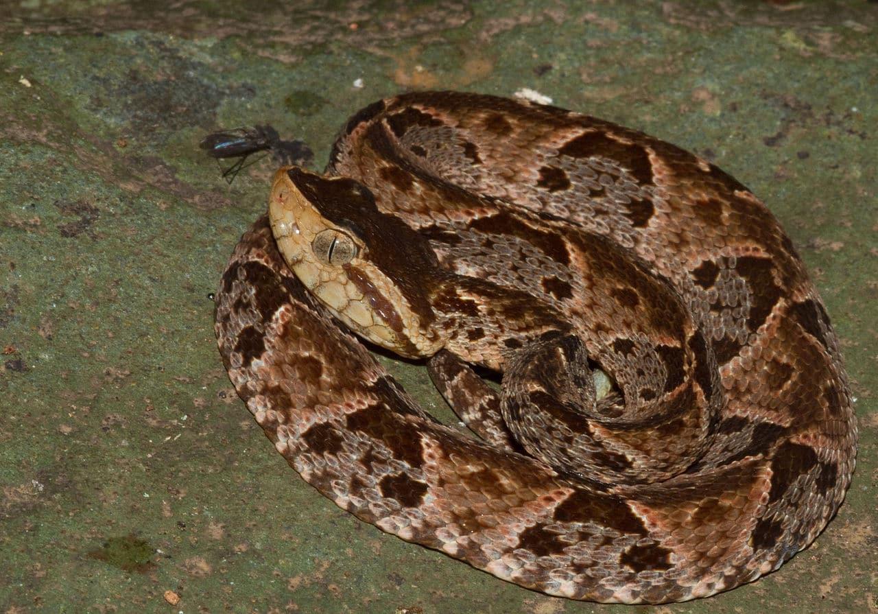 Qué come la serpiente terciopelo