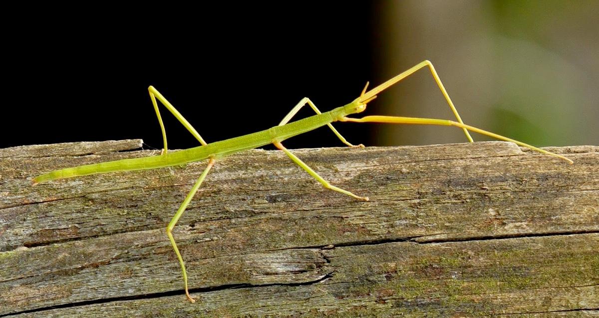 características del insecto palo