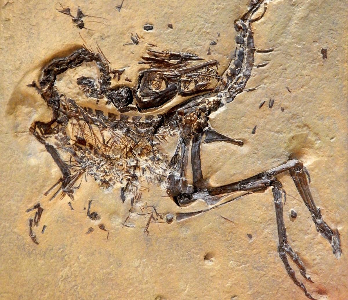 Los esqueletos de Compsognathus encontrados están en muy buen estado de conservación