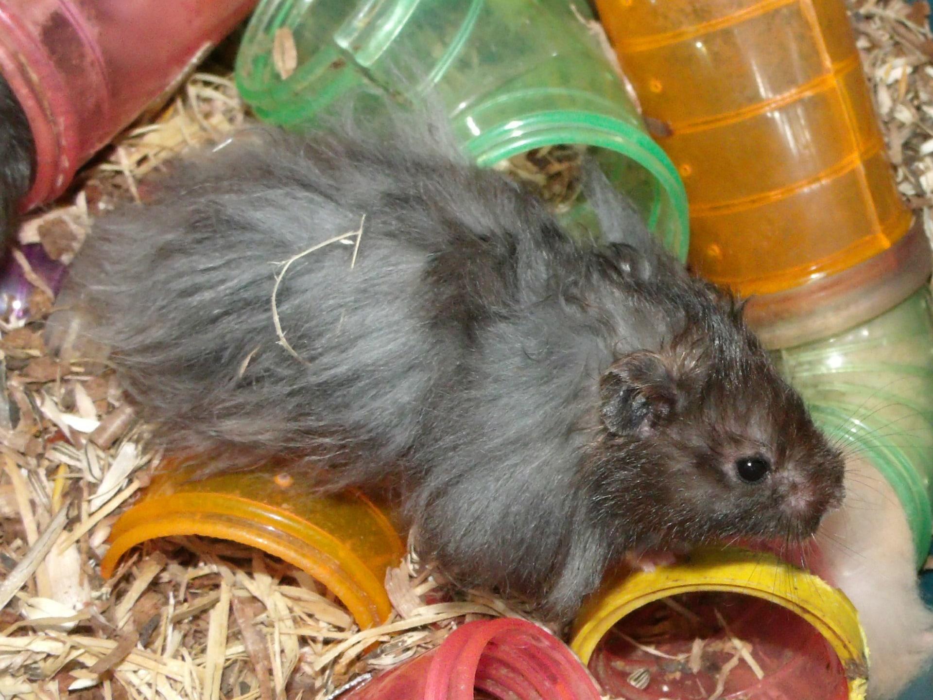 cómo es el hamster de angora