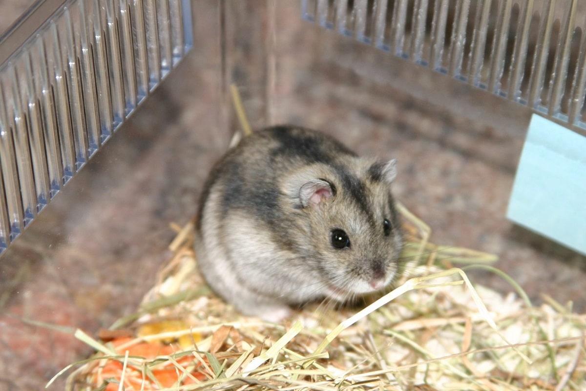 hamster siberiano en jaula
