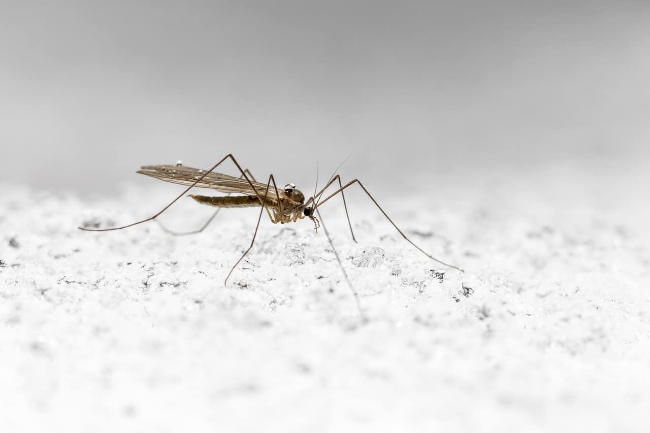 Cómo son los mosquitos