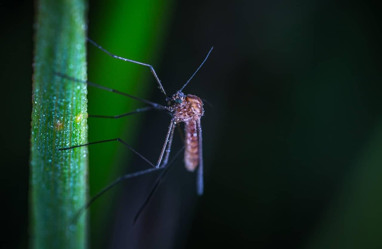 Qué come el mosquito
