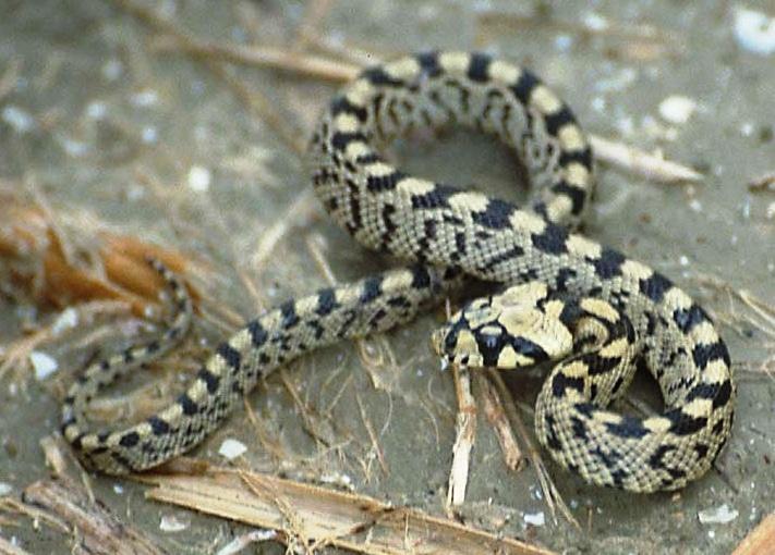 La reproducción de la serpiente de escalera