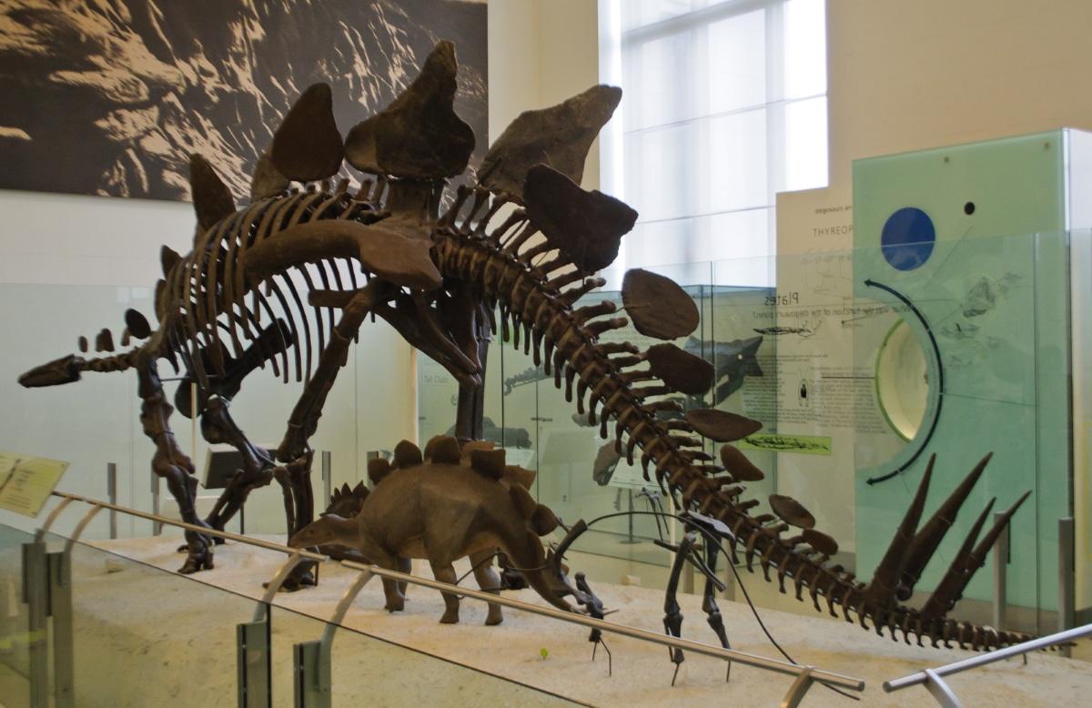Existen diferentes tipos de Stegosaurus